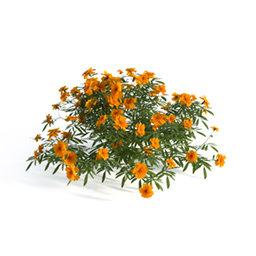 French Marigold 01 x3